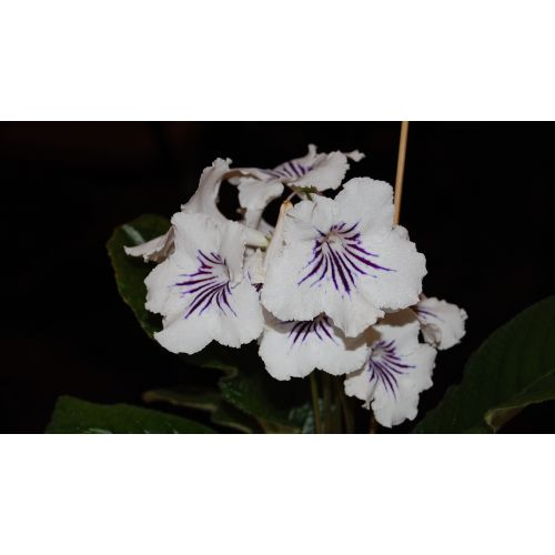 Medium Crop Of African Violets For Sale
