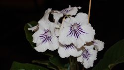 Small Of African Violets For Sale