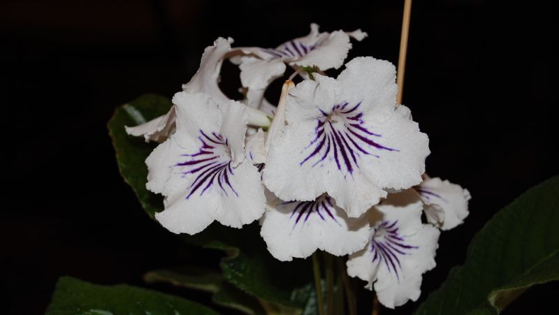 Large Of African Violets For Sale
