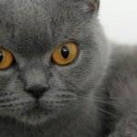 Gato de pelo curto inglês British Shorthair