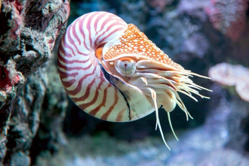 Animal Pattern Wallpaper Chambered Nautilus Quot Ocean Treasures Quot Memorial Library