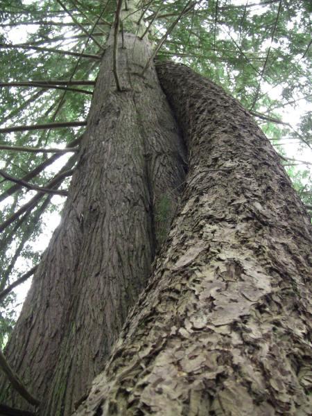 A firry embrace. Trees like to snuggle too!