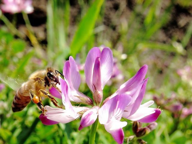 レンゲの花とミツバチ