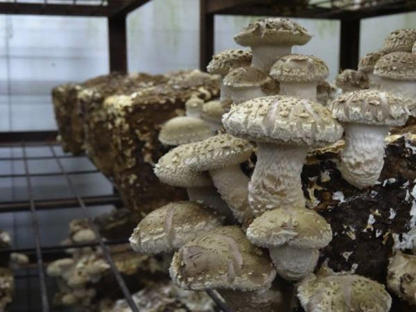 しいたけの菌床栽培