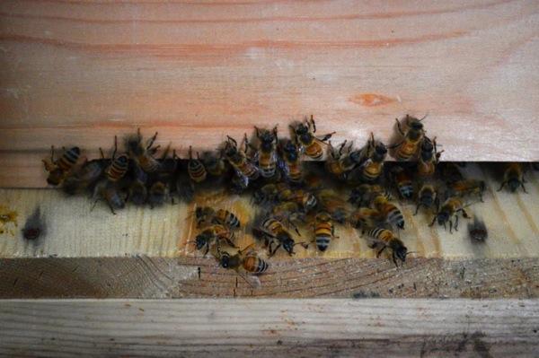 巣箱に出入りするミツバチたち