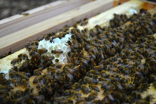 無駄巣をつくるミツバチ