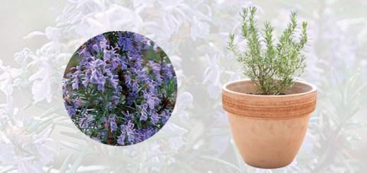 身近な祝福、夏祭り、疲れを癒す|ローズマリー栽培セット(テラコッタ/ボーダー)