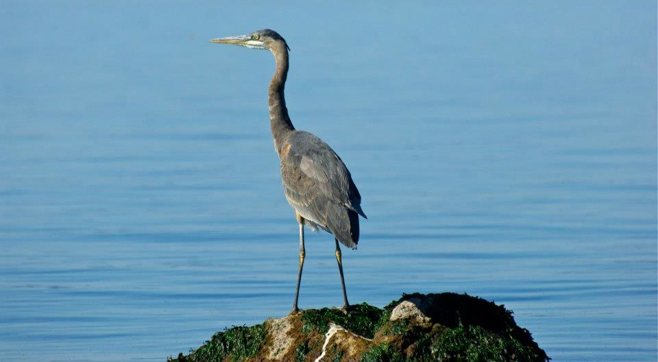 heron on a rock