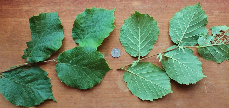 hazelnut tree pollination pollination of hazelnuts in the