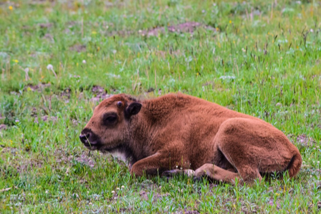 Young bison relaxing in the meadow in Yellowstone National Park