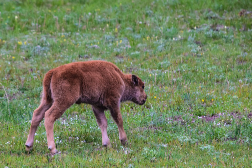 Baby Buffalo smelling flowers in meadow in Yellowstone National Park