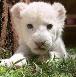 Sacred White Lion Cub
