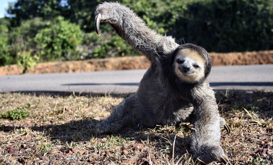 sloth on the road