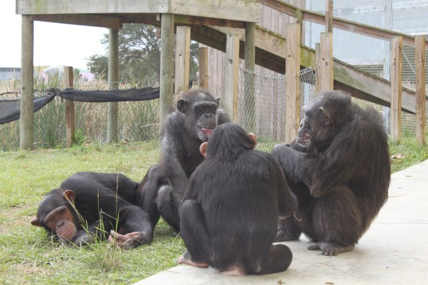 Jude, Gogi, Gabe and Vicky socializing at the sanctuary (Photo courtesy of Save the Chimps)