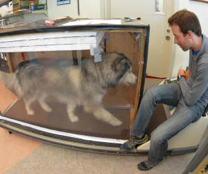 KIDA, AN ALASKAN MALAMUTE, TAKES THE PLACE OF A WOLF FOR METABOLIC TESTING ON A TREADMILL. CREDIT: BETHANY AUGLIERE