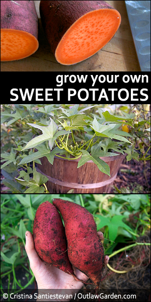 Grow Your Own Sweet Potatoes - Outlaw Garden