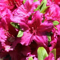 Flower Friday - Azaleas