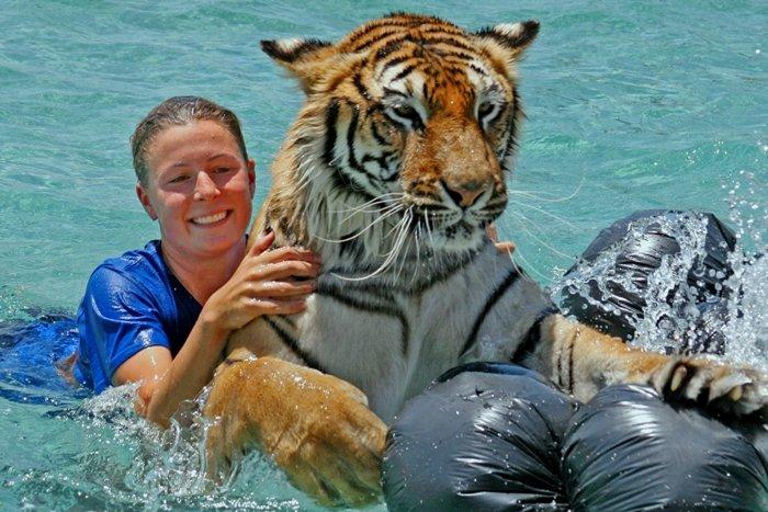 3d Wallpapers Wild Animals Tiger Splash At Arizona S Wildlife Theme Park
