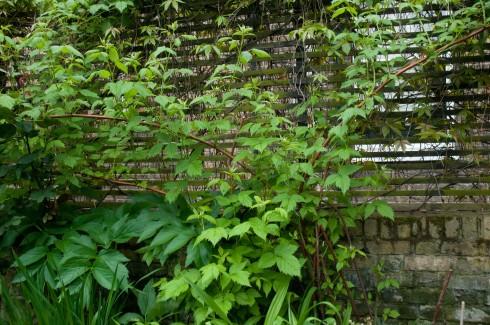 Raspberries as a screen in Deborah Nagan's garden May 2013