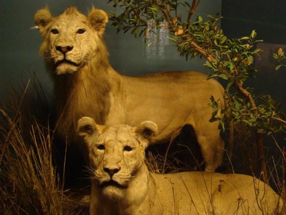 160801_leões museu historia natural NYC