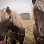 Photo Friday: Icelandic Horses