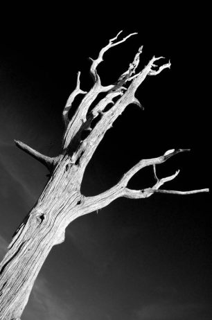 Dead tree, Bucksaw, Harry S Truman Lake, Missouri