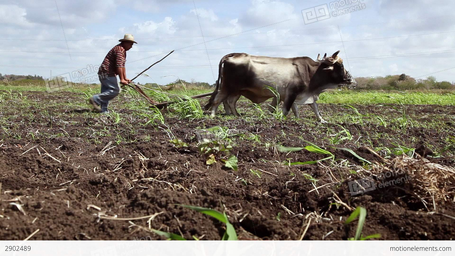 Jesus Live Wallpaper 3d Plow Pulled By Oxen Animals And Man At Work In Farm Stock