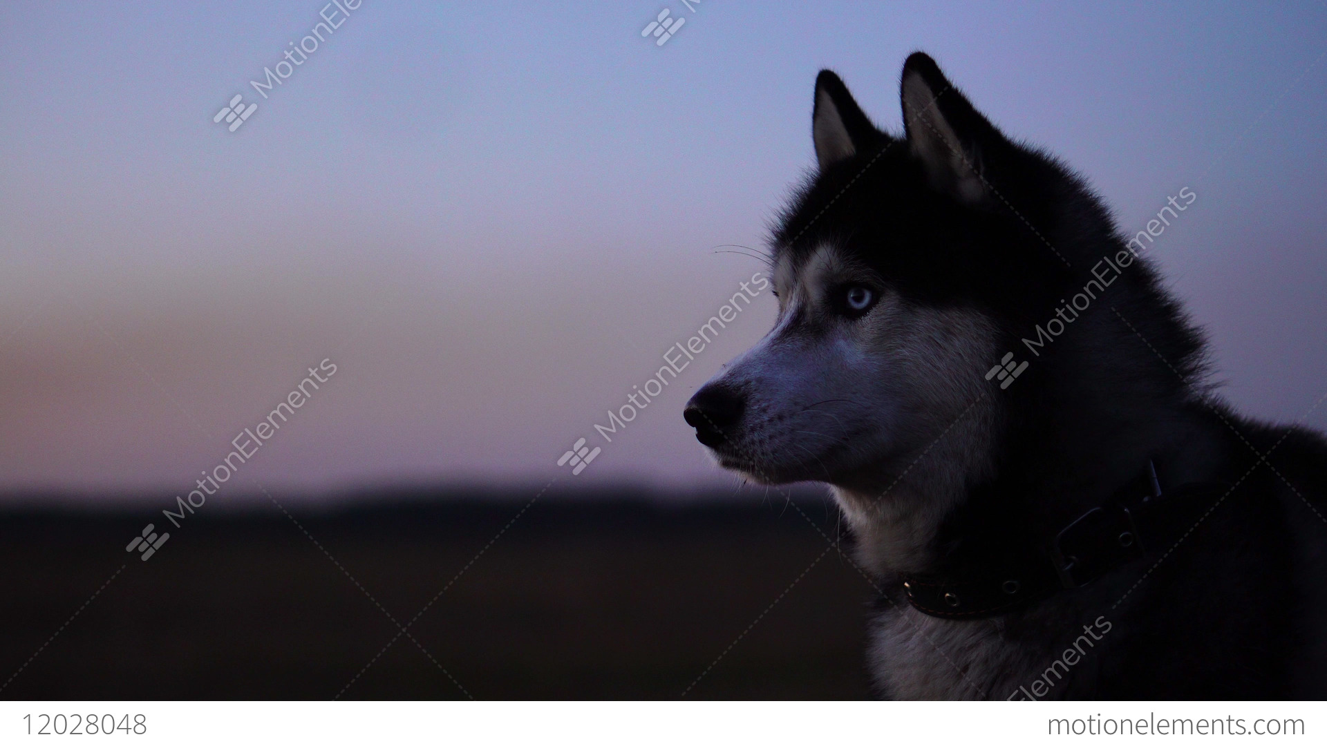 Husky Price Siberian Husky With Blue Eyes And Gray White Hair Sits On The Grass And Looks Stock Video Footage