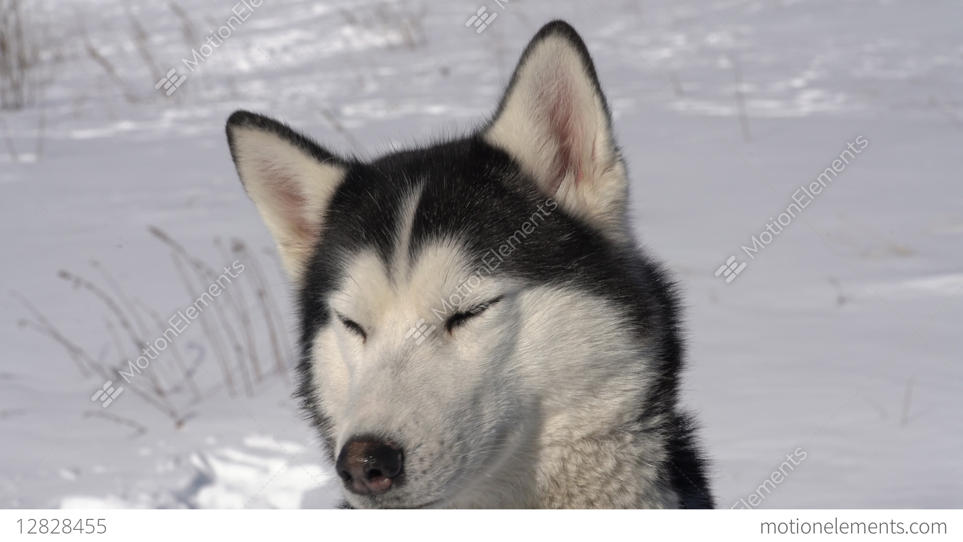 Husky Price Portrait Of Husky Dog Before Winter Sport Competition Stock Video Footage