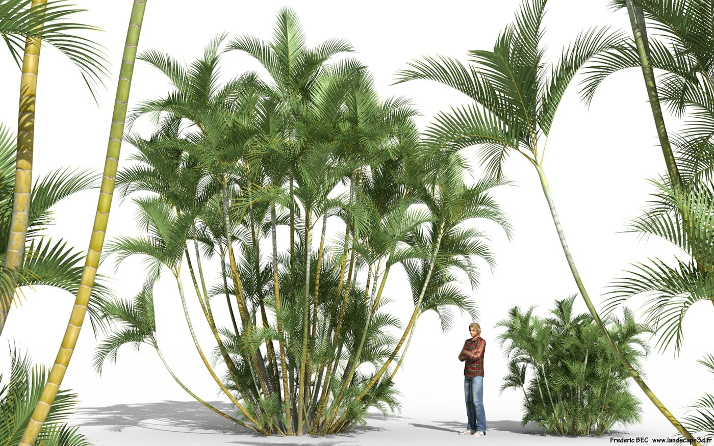 Yellow Palm Areca Palm Chrysalidocarpus Lutescens Dypsis Lutescens 3d Plant Model Creation