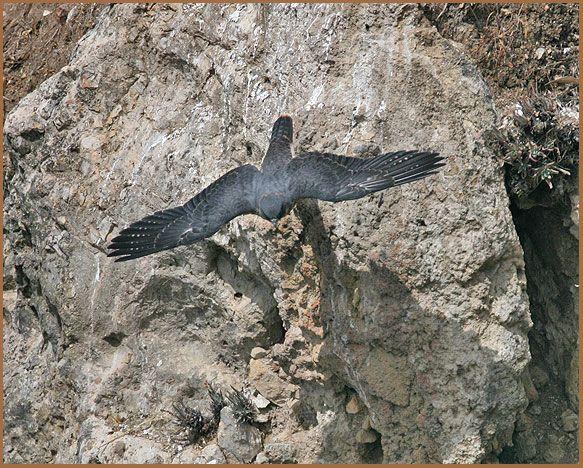 peregrine, Morro Bay, Morro Rock, California, birding