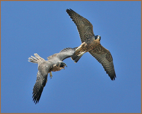 peregrine, juveniles, in flight