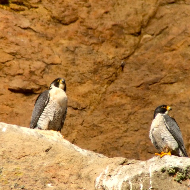 Male and female peregrines, Morro Rock, Morro Bay, CA