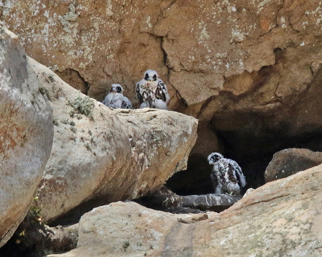 All three peregrine chicks looking out