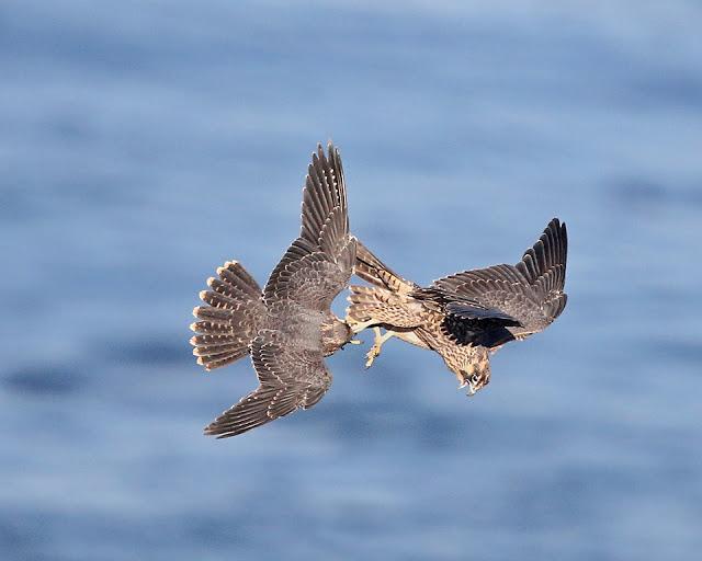 peregrine juveniles in mid-flight