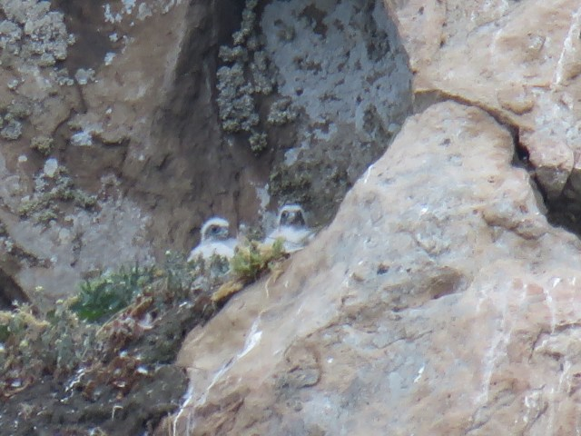 North side peregrine chicks Photo by Gordon Robb