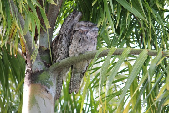 Although related to owls, frogmouths are more closely related to nightjars and oilbirds.