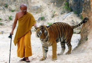 a-monk-at-tiger-temple-thailand_taking-the-pet-out-for-a-walk