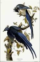 audubon_bluejay_big