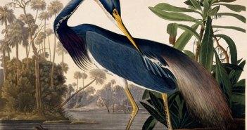 audubon_louisiana heron