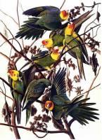 audubon_parakeet_big