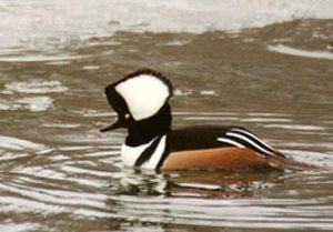 040213_hooded-merganser