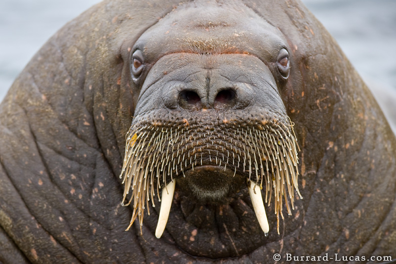A massive walrus looking at the camera.
