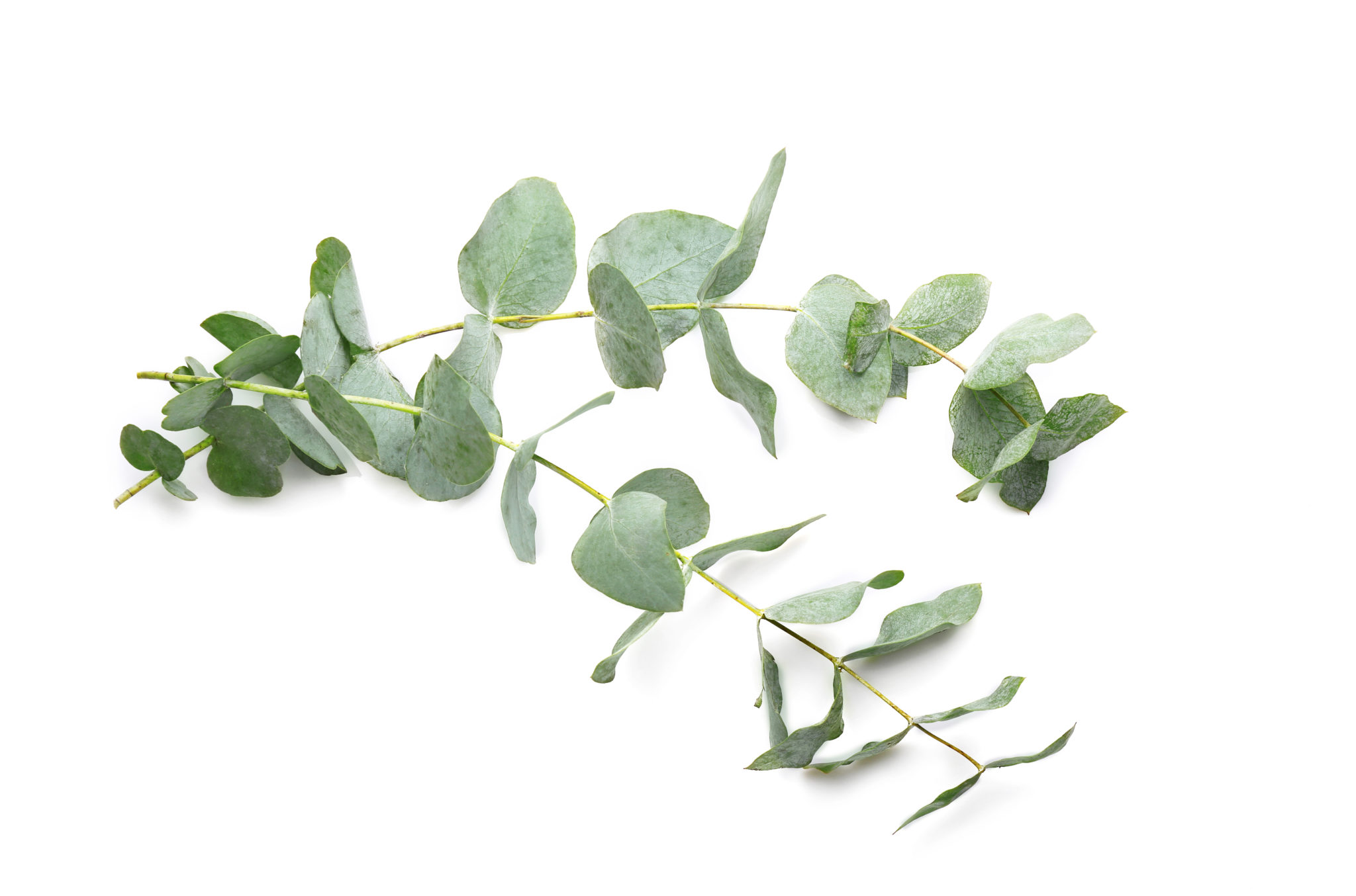 Design A Wallpaper For Iphone Eucalyptus The Essential Oil Of Spring Cleaning P