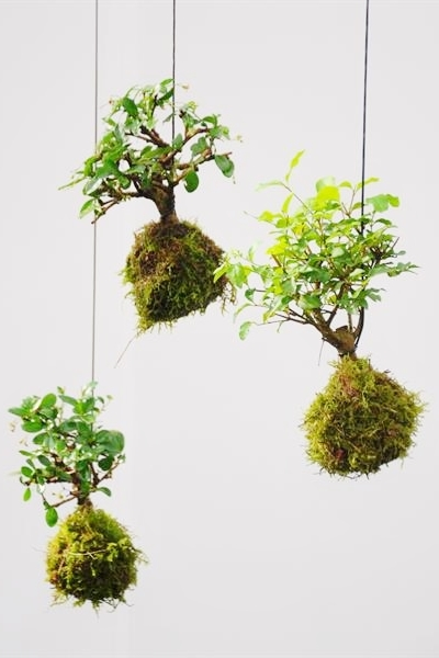 Pflege Bonsai Baum Kokedama Bonsai Moosball