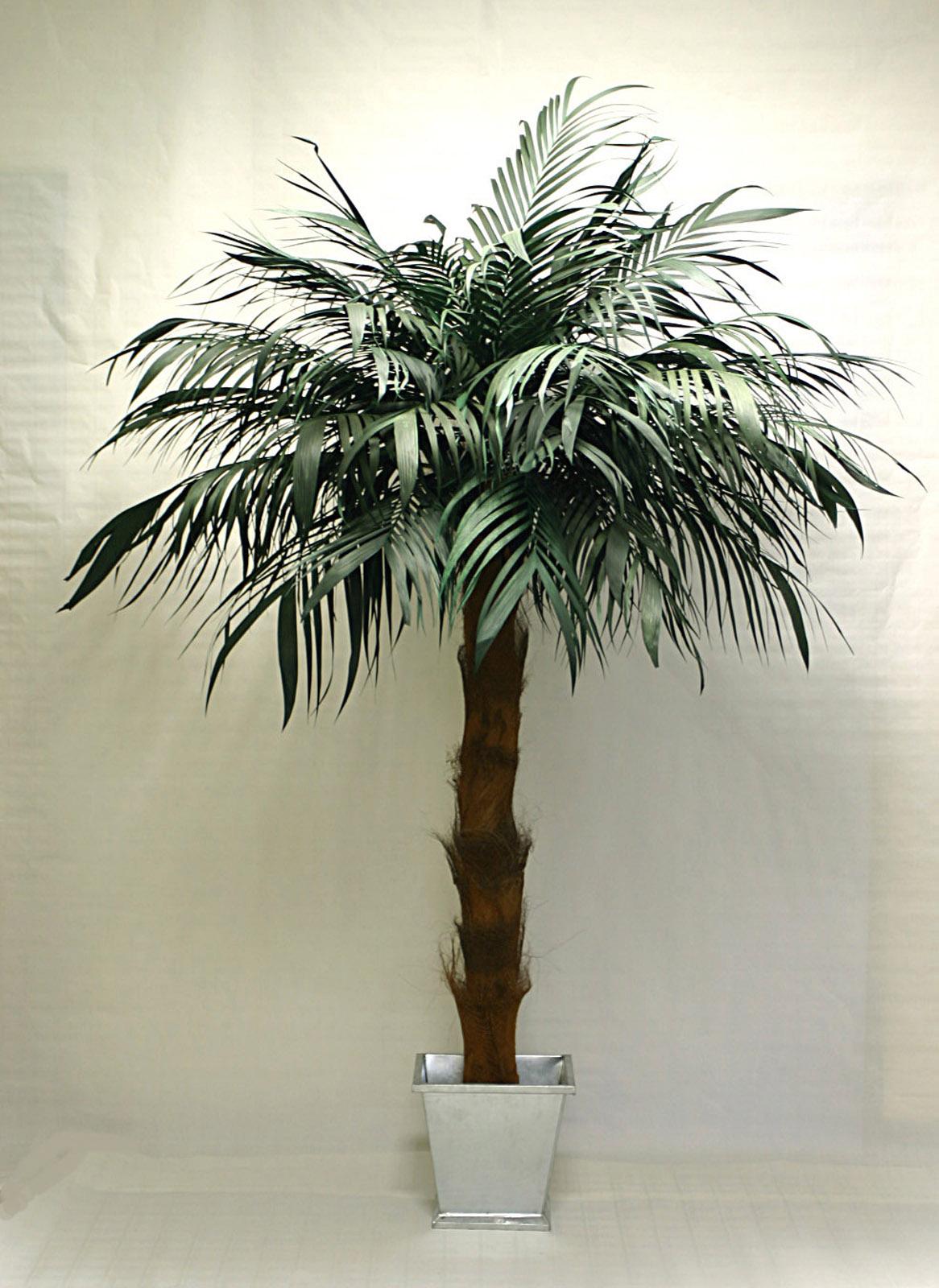 Große Palme Fürs Wohnzimmer   Polyscias Ist Zimmerpflanze Des Monats ...