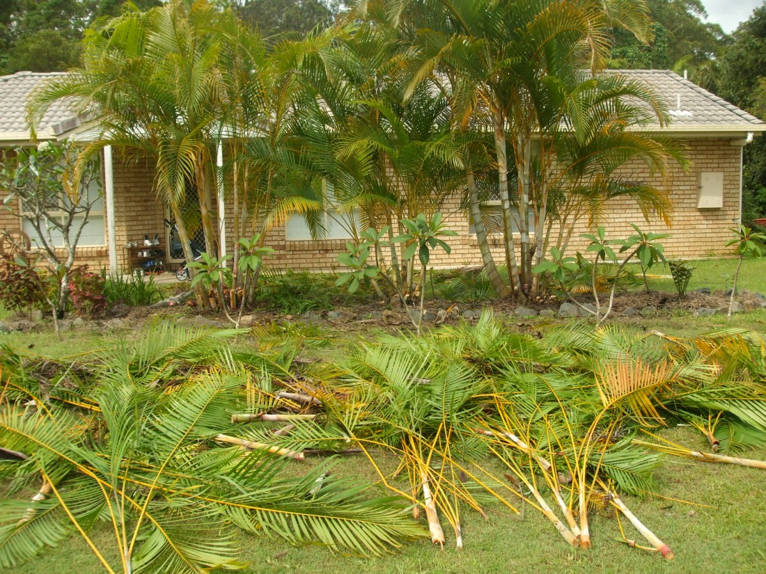 Areca Palm Australia Curse Of The Golden Cane Discussing Palm Trees Worldwide