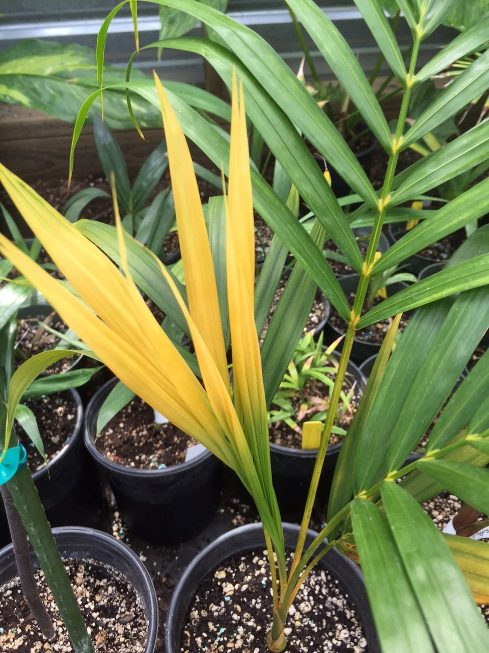 Dypsis Lutescens Golden Form Discussing Palm Trees Worldwide Palmtalk