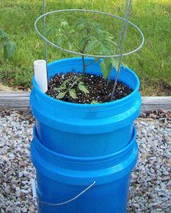 garden0429-tomato2