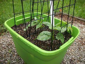 garden0520-8beans